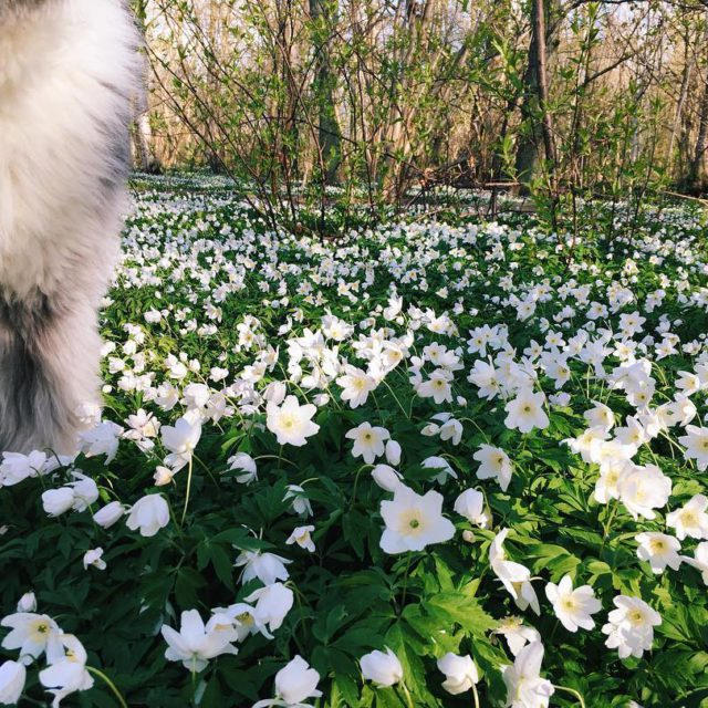 My cute dog vscoflowers vscocam morningwalk woodanemone iphoneonly