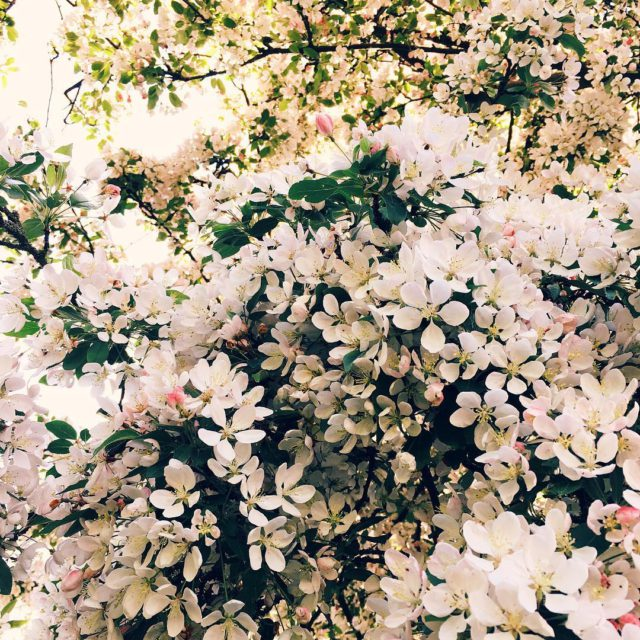 Beautiful trees with gorgeous flowers everywhere I go iphoneart vscocam