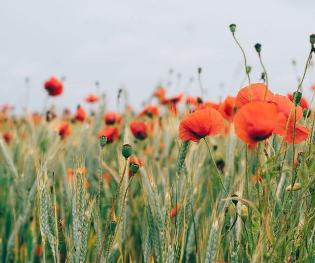 Field of poppies in south of Sweden vscofilm visithelsingborg visitskane