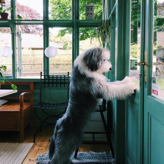 My sweet dog Svante  beardedcollie vscocam vscodogs